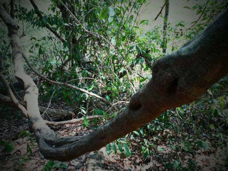 Vào rừng Nam Cát Tiên ngắm cây gõ bác Đồng 700 năm tuổi - ảnh 3