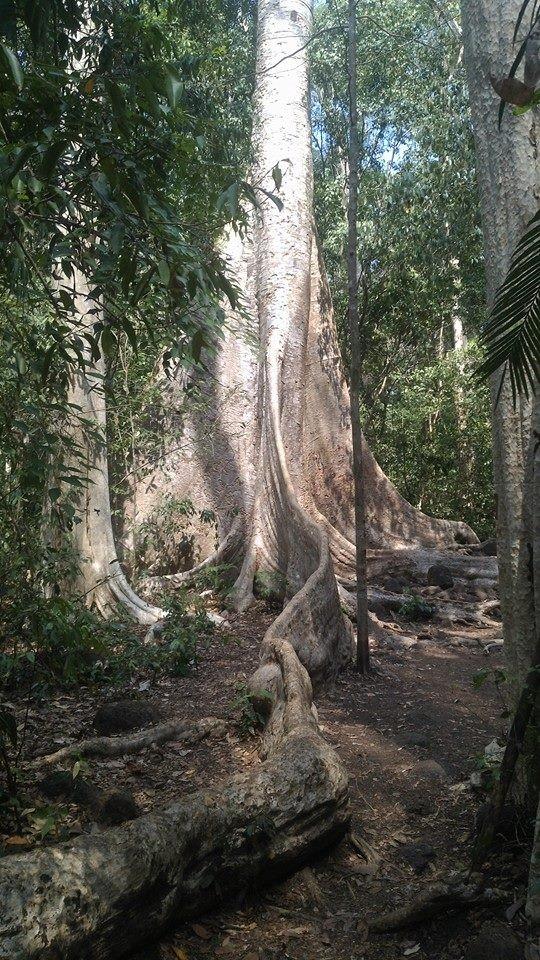 Vào rừng Nam Cát Tiên ngắm cây gõ bác Đồng 700 năm tuổi - ảnh 9
