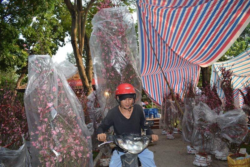 Người Sài Gòn ngẩn ngơ ngắm hoa đào đất Bắc - ảnh 3