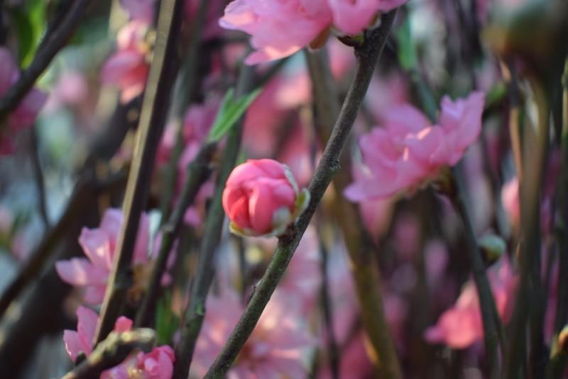 Người Sài Gòn ngẩn ngơ ngắm hoa đào đất Bắc - ảnh 4