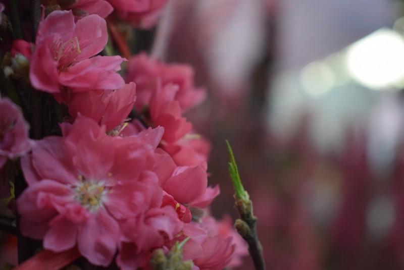 Người Sài Gòn ngẩn ngơ ngắm hoa đào đất Bắc