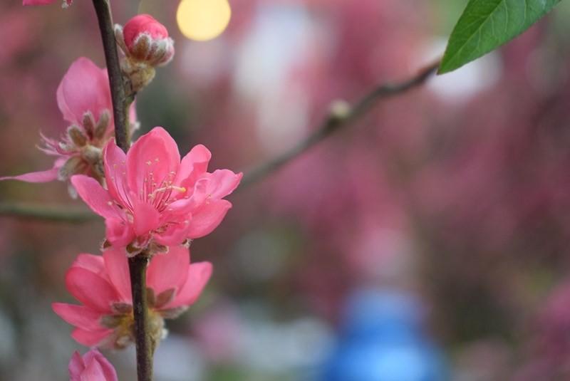 Người Sài Gòn ngẩn ngơ ngắm hoa đào đất Bắc - ảnh 9