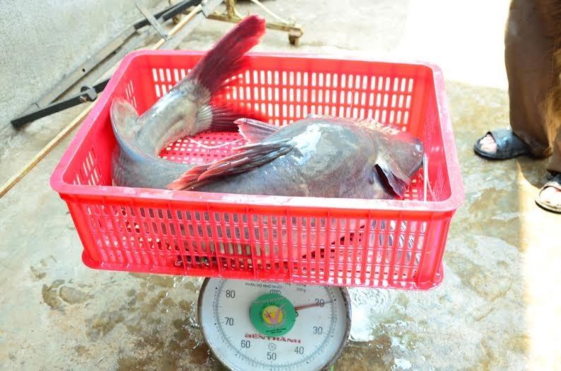 """Ngư dân bắt được cá lăng """"khủng"""" trên sông Sêrêpốk - ảnh 2"""