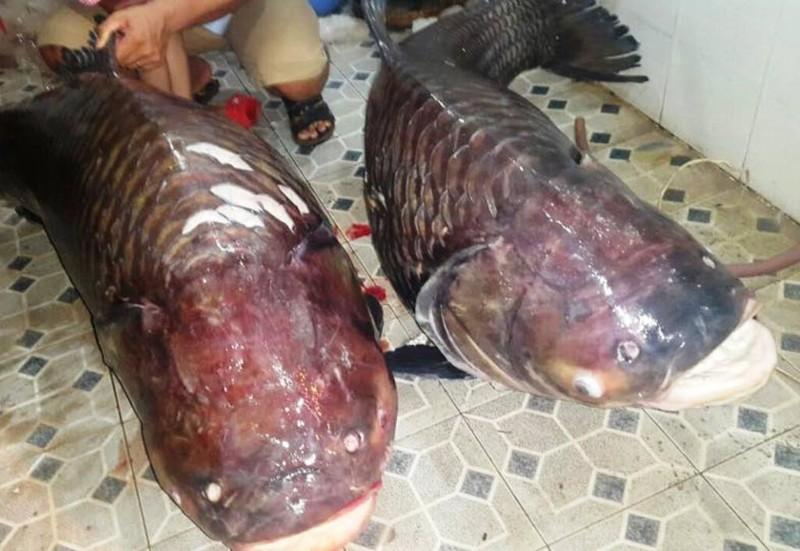 Hai chú cá hô khủng vừa được nhà ở TPHCM mua về từ Lào