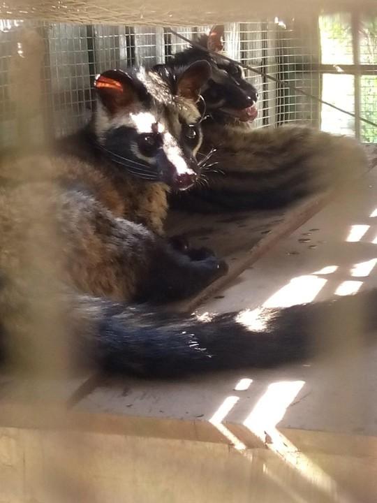 Giải cứu bảy cá thể cầy quý hiếm nằm trong danh sách đỏ - ảnh 2