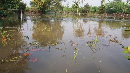 Vườn mai, ao cá ngập nặng sau mưa - ảnh 4