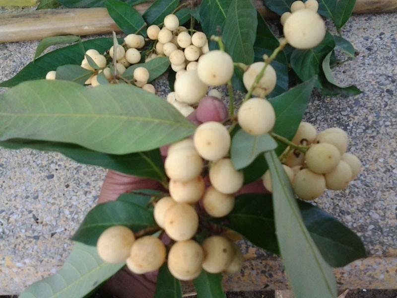 Chuyện thú vị trái cây rừng vua Gia Long từng ăn lót lòng, đỡ đói - ảnh 1