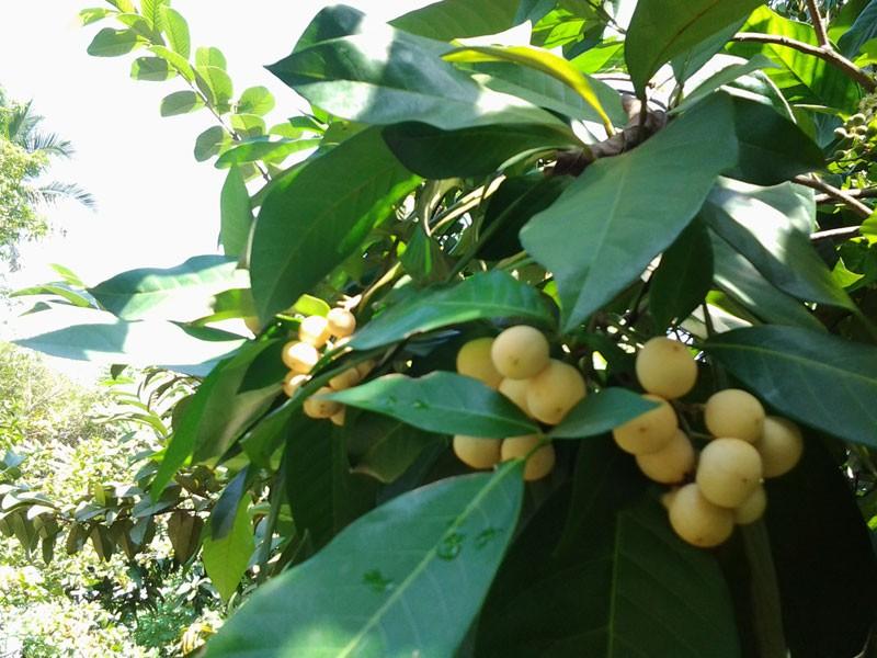 Chuyện thú vị trái cây rừng vua Gia Long từng ăn lót lòng, đỡ đói - ảnh 2