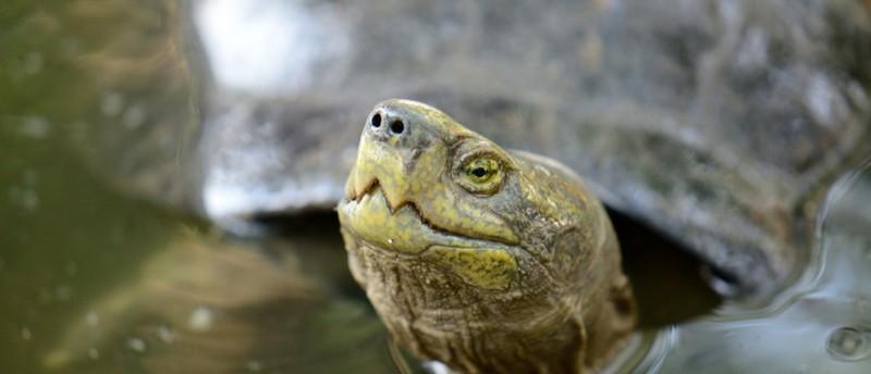 Rùa 'khủng' đi lạc chưa cấp giấy phép cho ai nuôi nhốt - ảnh 2