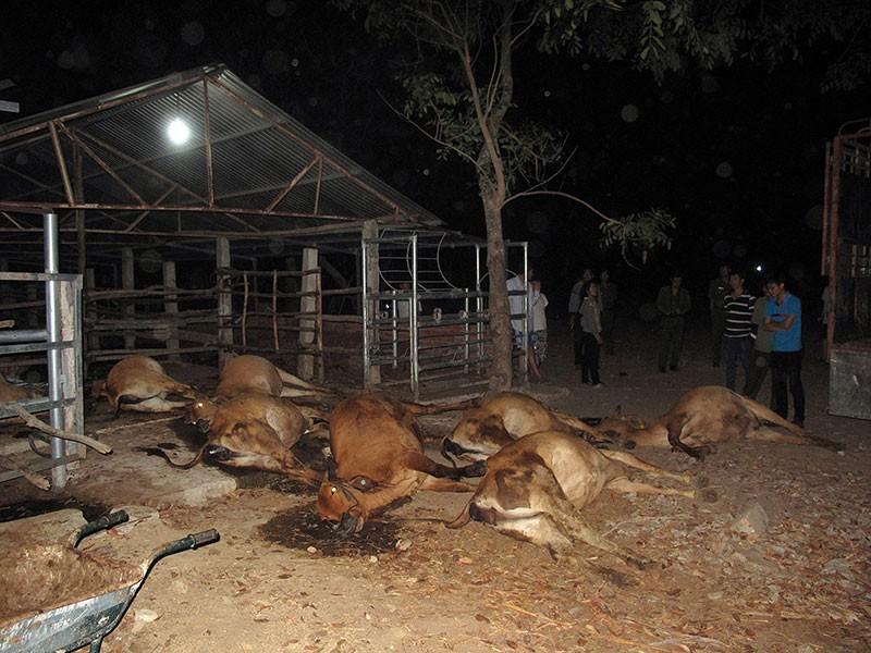 Cả đàn bò bỗng dưng lăn đùng ra chết? - ảnh 1