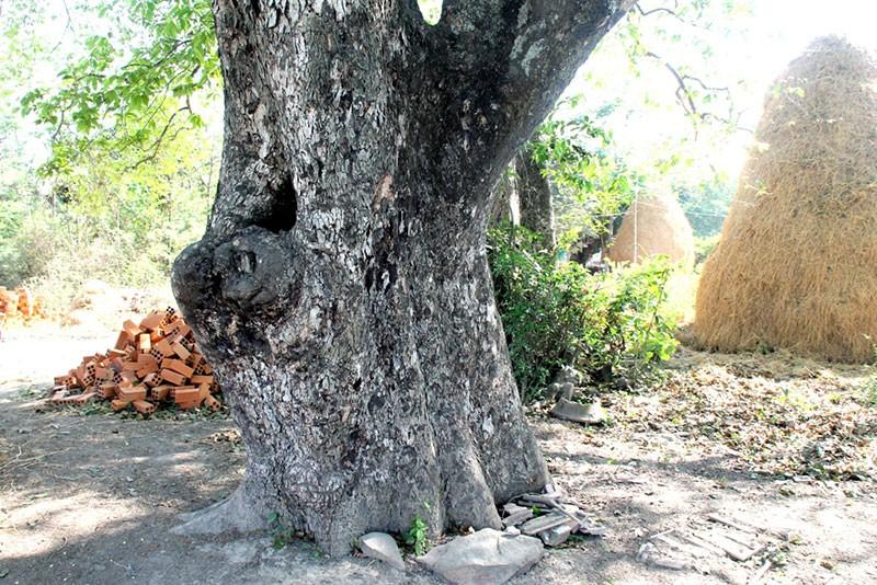 Một làng có 3 cụ cây gần 300 năm tuổi - ảnh 7