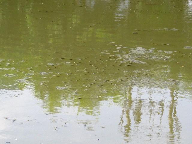 Cá nổi dày đặc trên sông An Cựu - ảnh 2