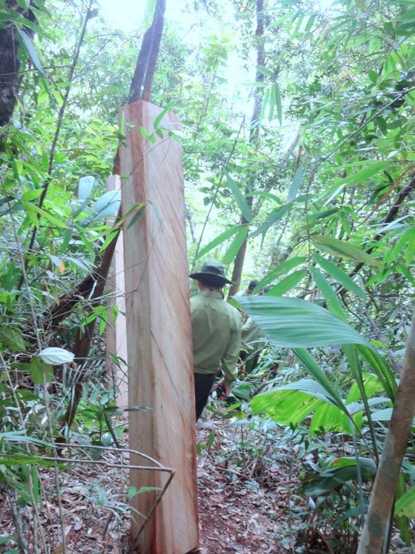Chủ tịch tỉnh Quảng Nam: Vụ phá rừng pơ mu 'không đơn giản' - ảnh 2
