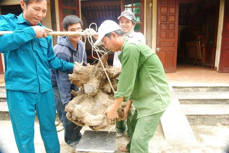 Người dân đào được củ khoai 'khủng' 75kg giống đầu rồng - ảnh 2