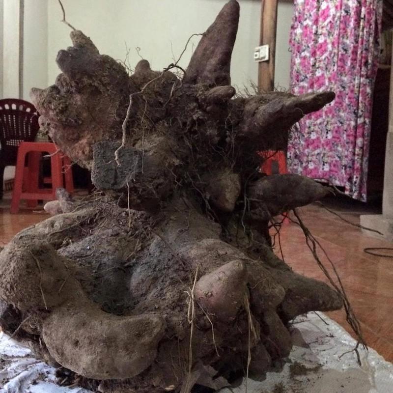 Người dân đào được củ khoai 'khủng' 75kg giống đầu rồng - ảnh 1