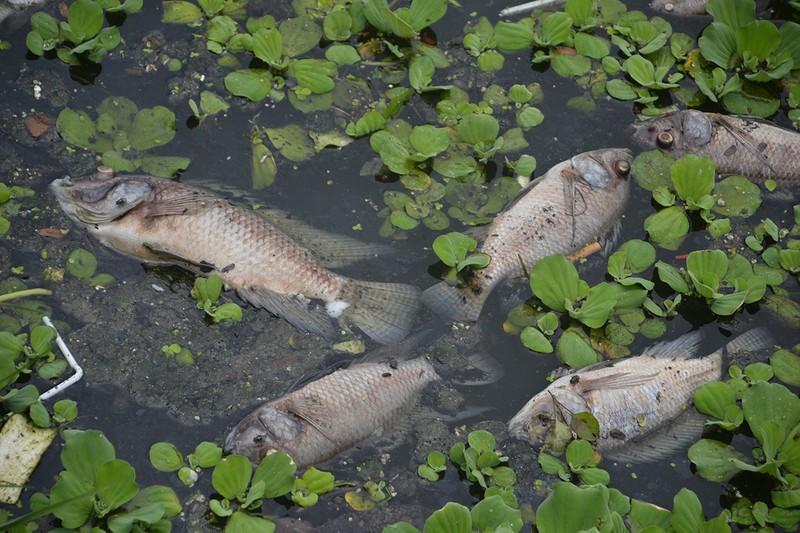 Cá chết bất thường nổi lềnh bềnh trên mặt hồ ở Đà Nẵng - ảnh 2