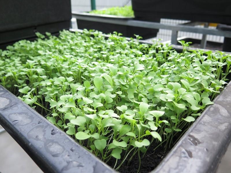 Thêm một trường học làm vườn rau sạch cho học sinh  - ảnh 3