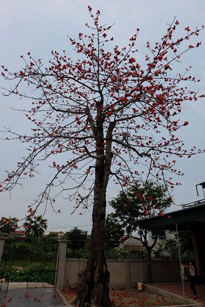 Ngắm cây gạo trăm tuổi nở hoa đỏ rực - ảnh 15