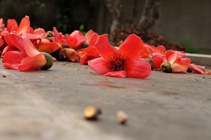 Ngắm cây gạo trăm tuổi nở hoa đỏ rực - ảnh 10
