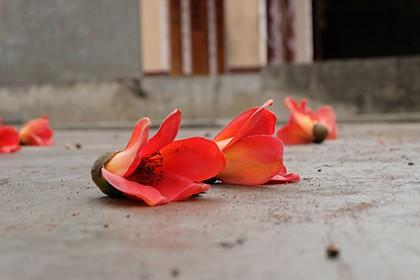 Ngắm cây gạo trăm tuổi nở hoa đỏ rực - ảnh 8