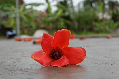 Ngắm cây gạo trăm tuổi nở hoa đỏ rực - ảnh 6