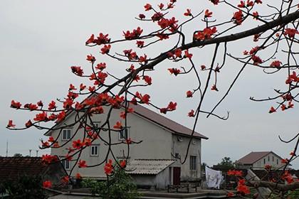 Ngắm cây gạo trăm tuổi nở hoa đỏ rực - ảnh 2