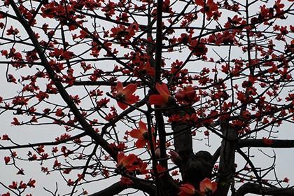 Ngắm cây gạo trăm tuổi nở hoa đỏ rực - ảnh 1