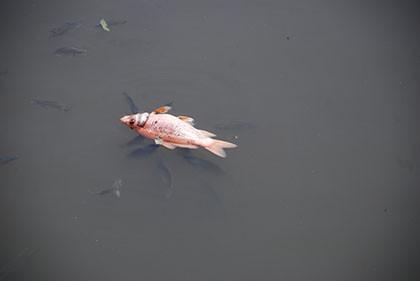 Kênh Nhiêu Lộc – Thị Nghè đầy rác bốc mùi, cá chết hàng loạt - ảnh 4