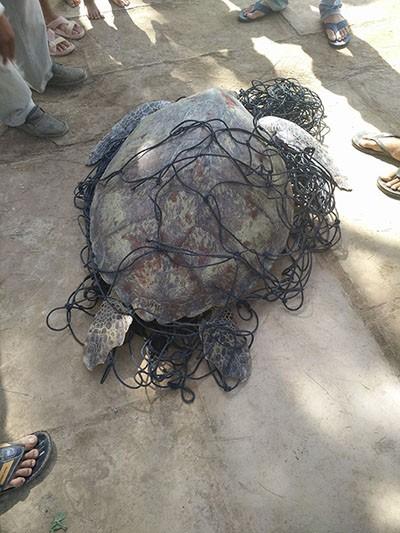 Bắt được rùa biển nặng 62kg - ảnh 1