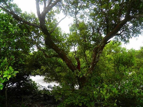 Khu rừng trâm bầu cổ che làng khỏi cát bay  - ảnh 21
