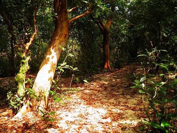 Khu rừng trâm bầu cổ che làng khỏi cát bay  - ảnh 12