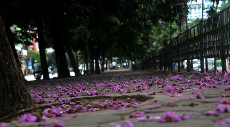Sắc tím Bằng lăng dịu dàng giữa Hà Nội, phố Huế - ảnh 1