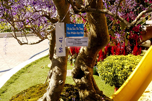 Ngỡ ngàng ngắm cây mai lạ có hoa màu... tím - ảnh 3