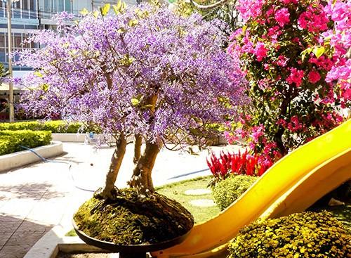 Ngỡ ngàng ngắm cây mai lạ có hoa màu... tím - ảnh 8