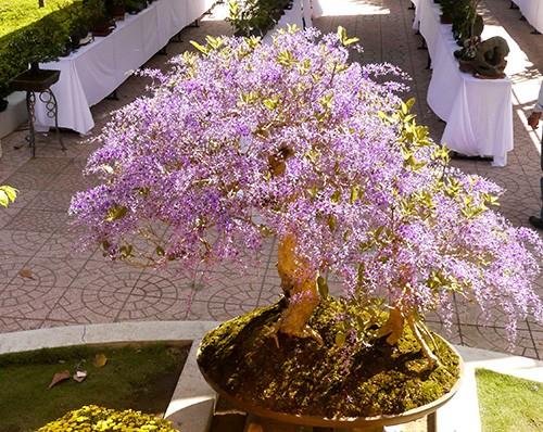Ngỡ ngàng ngắm cây mai lạ có hoa màu... tím - ảnh 7