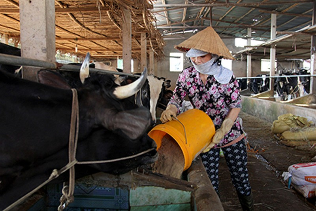 Kết nối, hỗ trợ nông dân Củ Chi bán sữa - ảnh 1