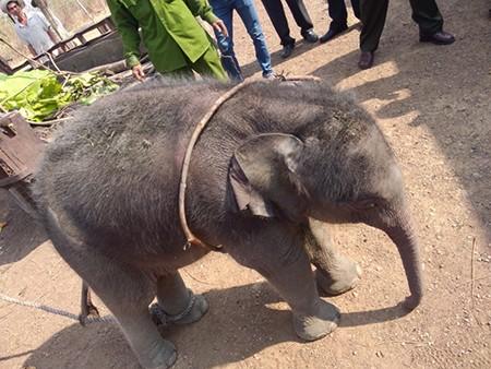 Cứu voi con 2 tháng tuổi rơi xuống giếng - ảnh 1