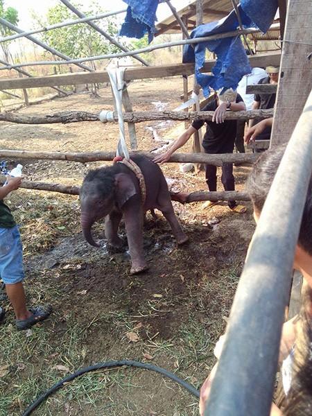 Cứu voi con 2 tháng tuổi rơi xuống giếng - ảnh 2