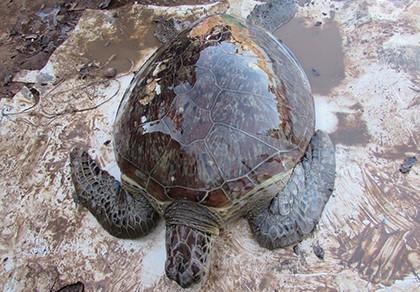 Rùa biển quý hiếm suýt thành mồi nhậu - ảnh 1
