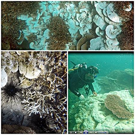 Báo động tình trạng san hô tại Côn Đảo bị tẩy trắng và chết  - ảnh 2