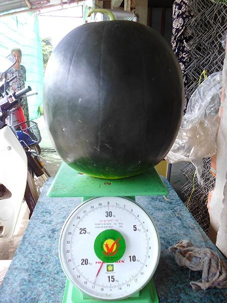 Xem dưa hấu 'khủng' cân nặng 17 kg - ảnh 1