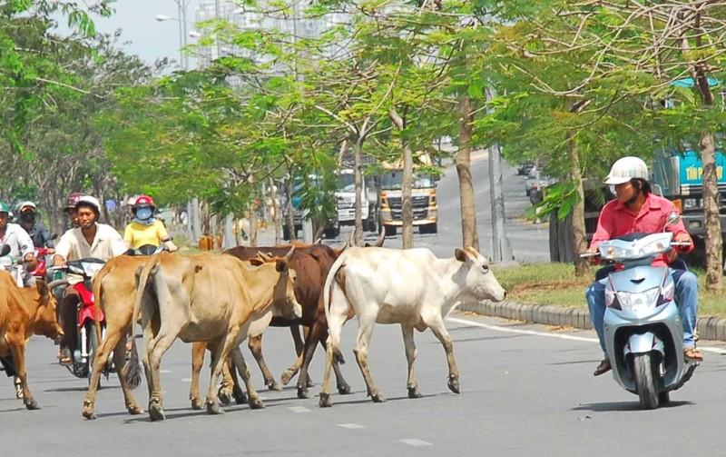 Đáp án kỳ 8: Người đuổi đánh bò phải bồi thường - ảnh 1