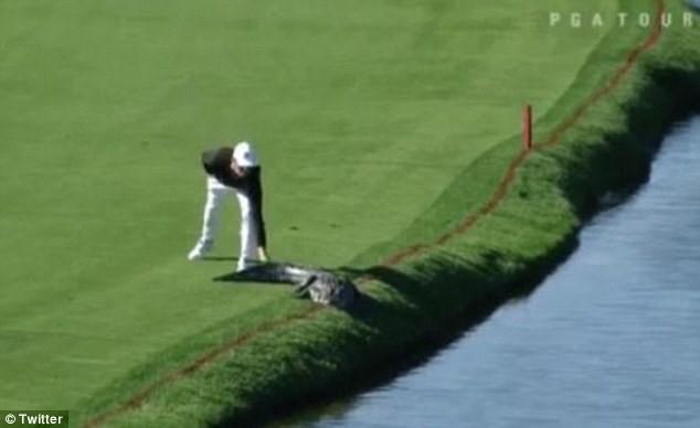 Lạnh người quả bóng golf nép mình cạnh cá sấu khổng lồ - ảnh 6