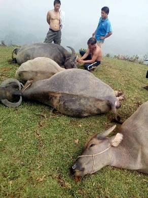 Hình ảnh những con trâu chết la liệt của gia đình ông Thông