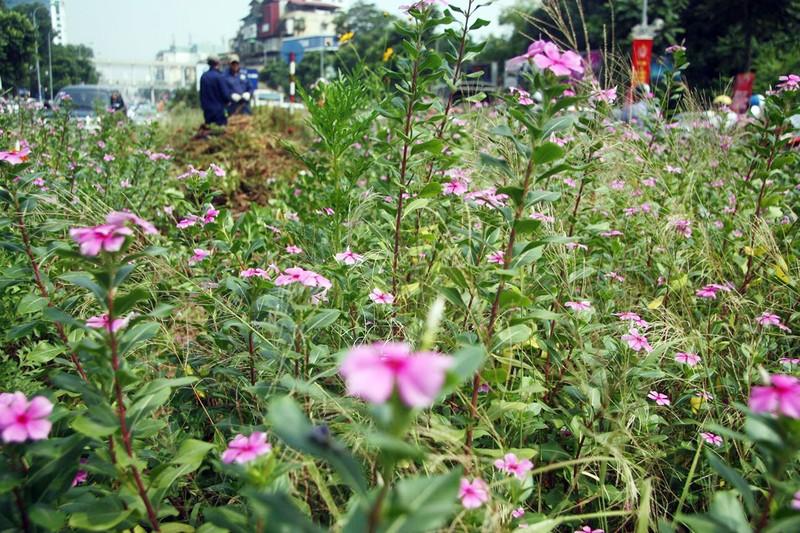 Hà Nội cắt tỉa cỏ trở lại sau 3 tháng 'án binh' - ảnh 10