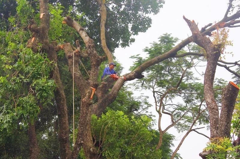 Cắt tỉa hàng cây Kim Mã trước khi di dời - ảnh 4