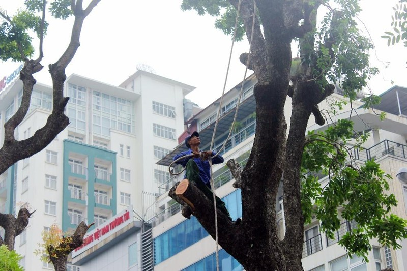 Cắt tỉa hàng cây Kim Mã trước khi di dời - ảnh 8