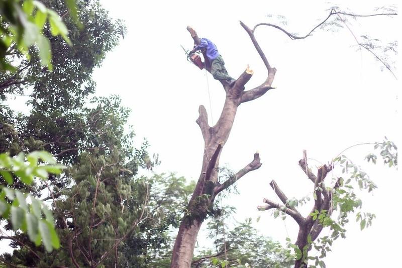 Cắt tỉa hàng cây Kim Mã trước khi di dời - ảnh 1