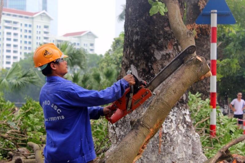 Cắt tỉa hàng cây Kim Mã trước khi di dời - ảnh 5