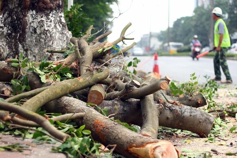 Cắt tỉa hàng cây Kim Mã trước khi di dời - ảnh 9